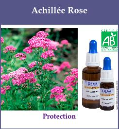 Achillee rose
