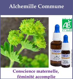 Alchemille commune 1