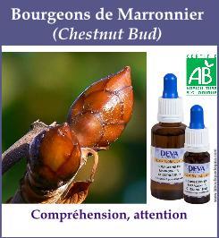 Bourgeon marronier