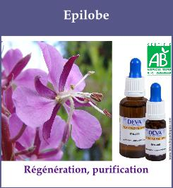Epilobe 1
