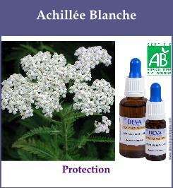 elixir floral achillee blanche