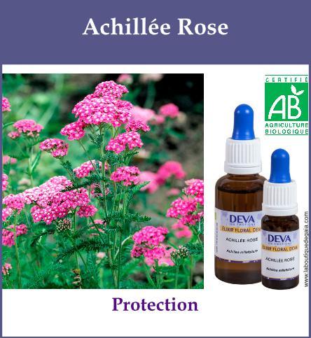 Achillee rose 2