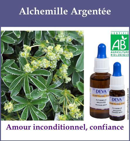 Alchemille Argentée