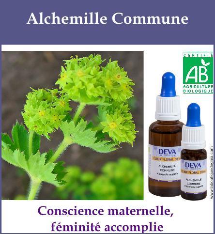 Alchemille Commune