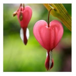 Bleeding Heart - Compte-gouttes : 30 ML