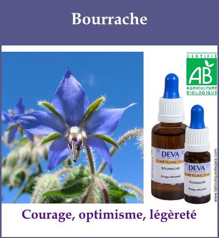 Bourrache 2