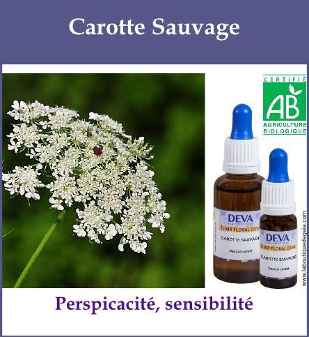 Carotte sauvage 2