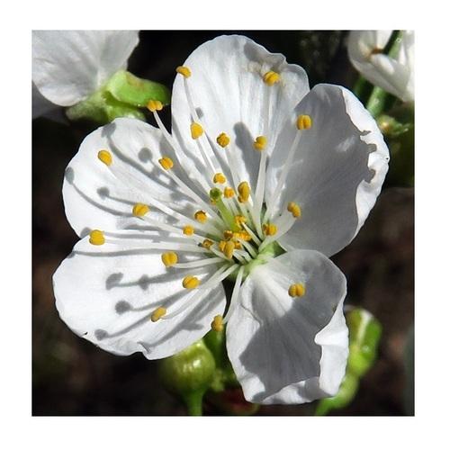 Cerisier sauvage 4
