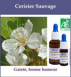 Cerisier sauvage 1