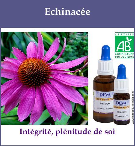 Echinacee 2