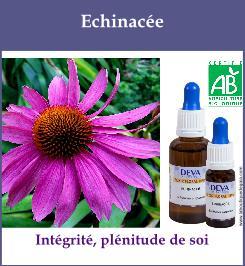 Echinacee 1