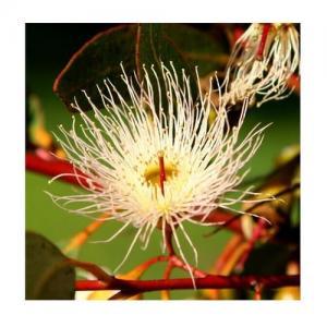 Eucalyptus - Base Alcool - Compte-gouttes : 10 ML