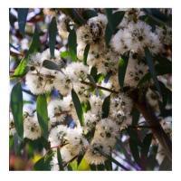 Eucalyptus citronne