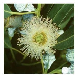 Eucalyptus Globuleux - Flacon : 10 ML