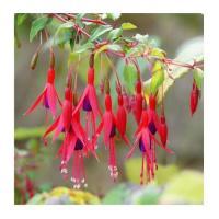 Fuchsia 4
