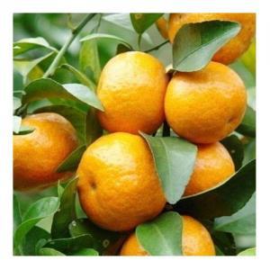 Mandarine - Flacon : 10 ML