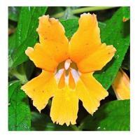 Mimulus orange 4