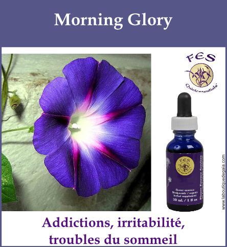 Morning glory
