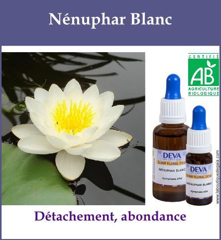 Nenuphar blanc 2