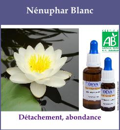 Nenuphar blanc