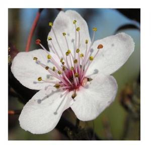 Prunus - Base Alcool - Compte-gouttes : 10 ML