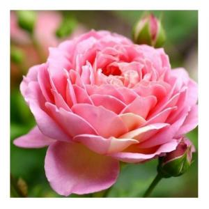 Eau de Rose de Damas