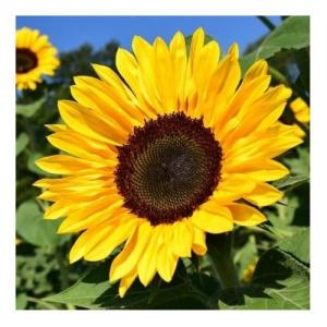 Sunflower - Compte-gouttes : 30 ML