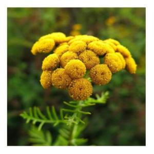 Tansy - Compte-gouttes : 30 ML